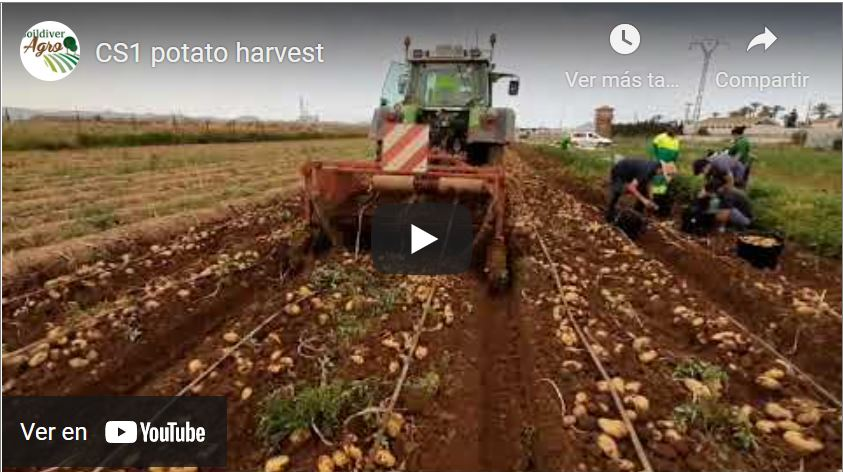 harvest potatoe 31 may2021