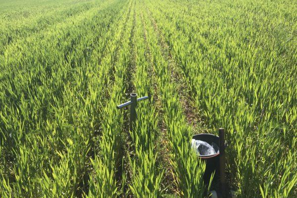 wheat sampling continental case study 11