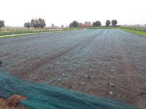 broccoli organic trial experiment belgium