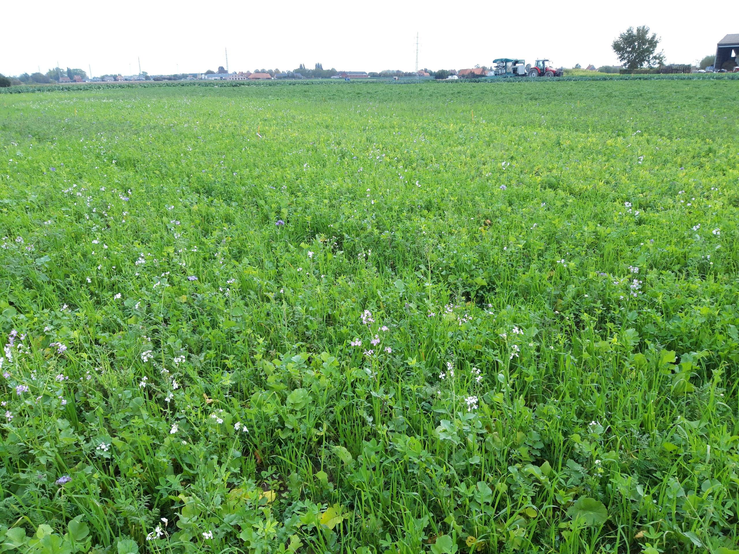 Cover crop mixtures belgium